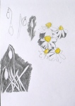 Drawing of snowdrops and aconites