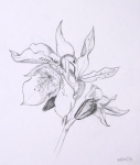 Drawing of hellebore