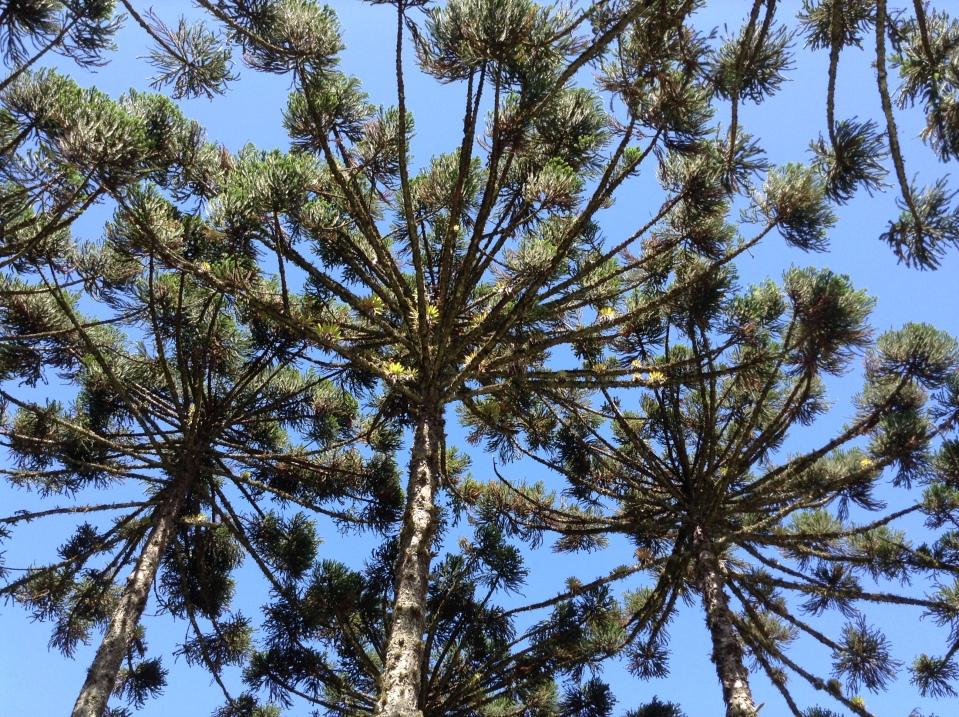 Auricaria Angustifolia (Pinheiro Brasiileiro)