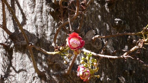 Brazil Nut tree flower
