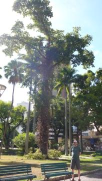 Brazil Nut Tree