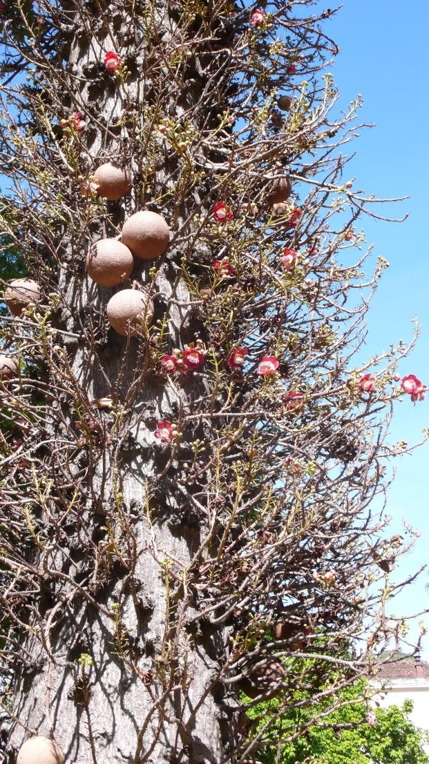 Brazil Nuts growing on trunk