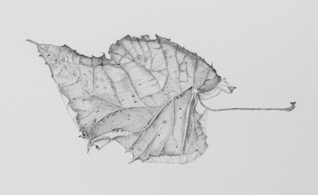 Pencil drawing of a Dead Leaf No 2 by Sue Hagley