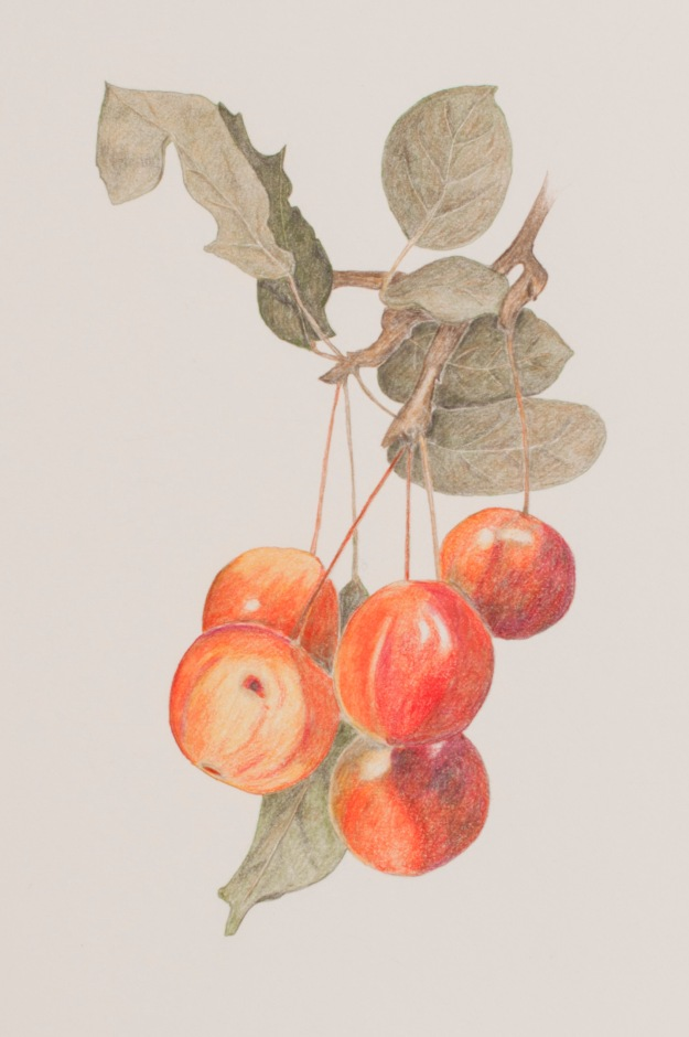 Coloured pencil drawing of Crab Apples by Sue Hagley