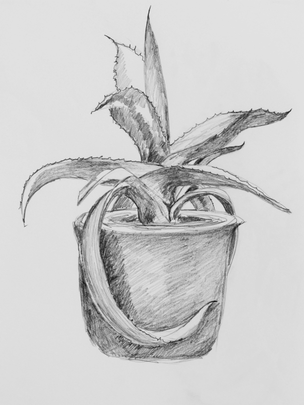 Agave drawing