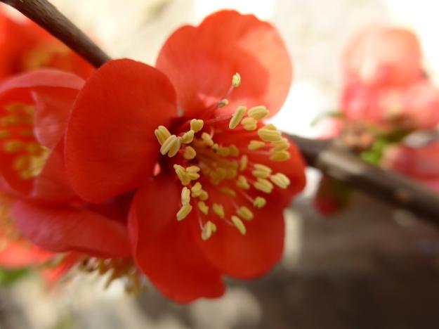 Chaenomeles blossom
