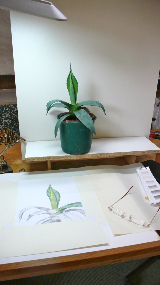 Agave plant ready to draw