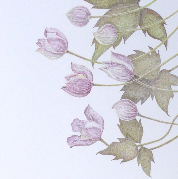 Clematis Montana - pencil drawing - Sue Hagley