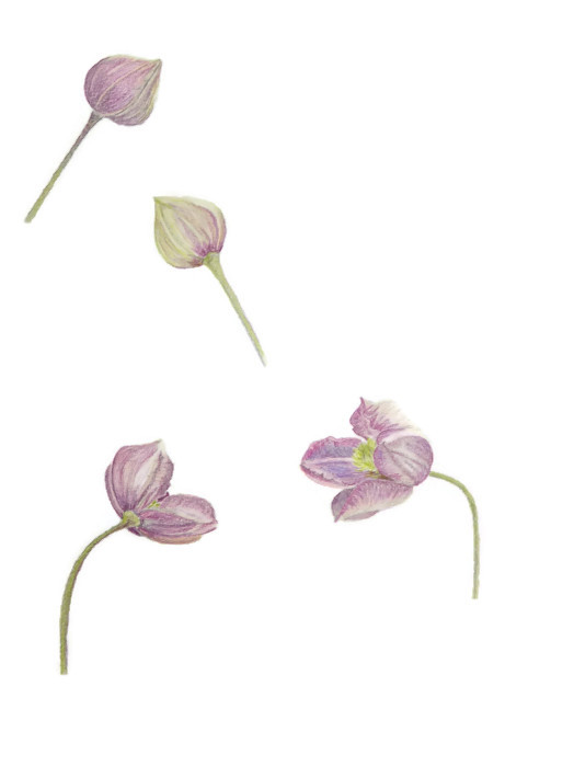 Clematis Montana drawing