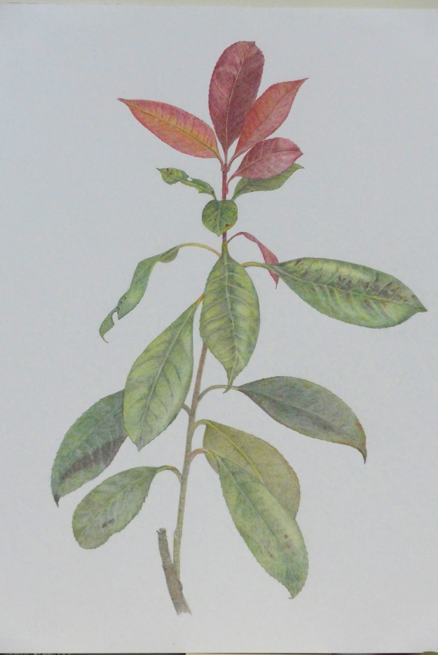 Photinia drawing by Sue Hagley