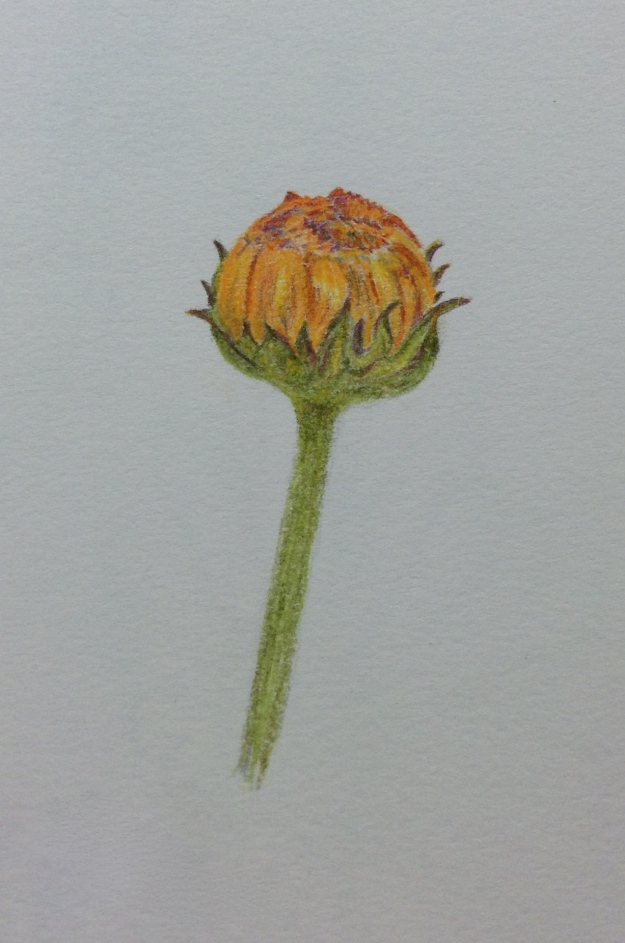 Marigold Bud in coloured pencil