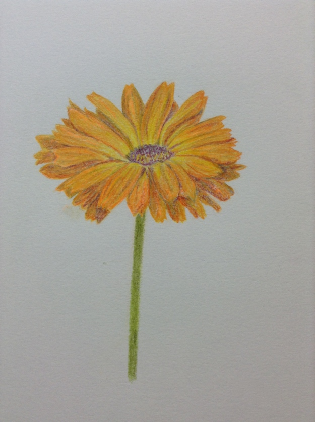 Marigold flower in coloured pencil