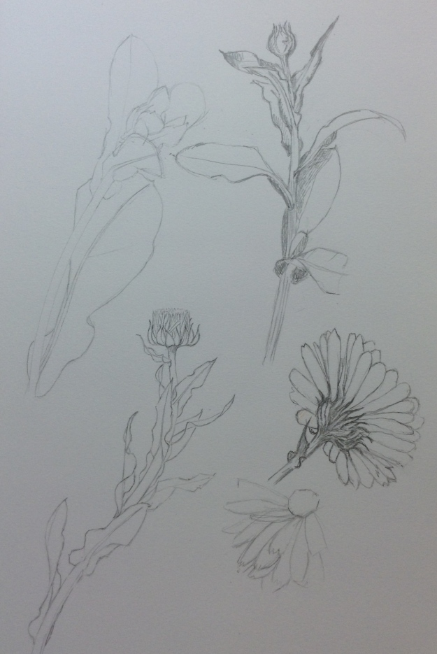 Graphite drawing of marigolds