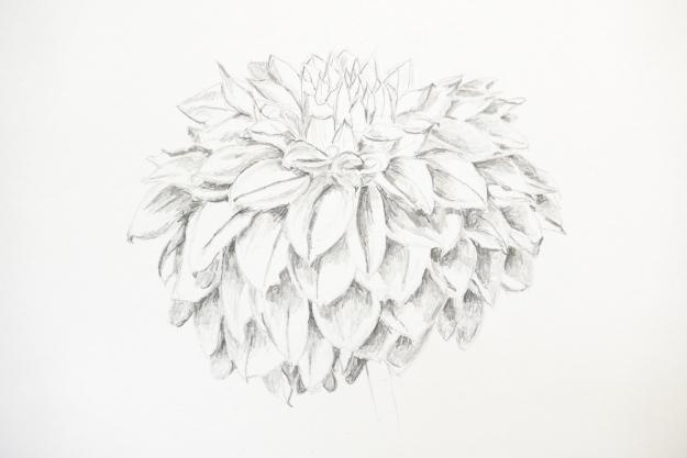 Drawing of Dahlia