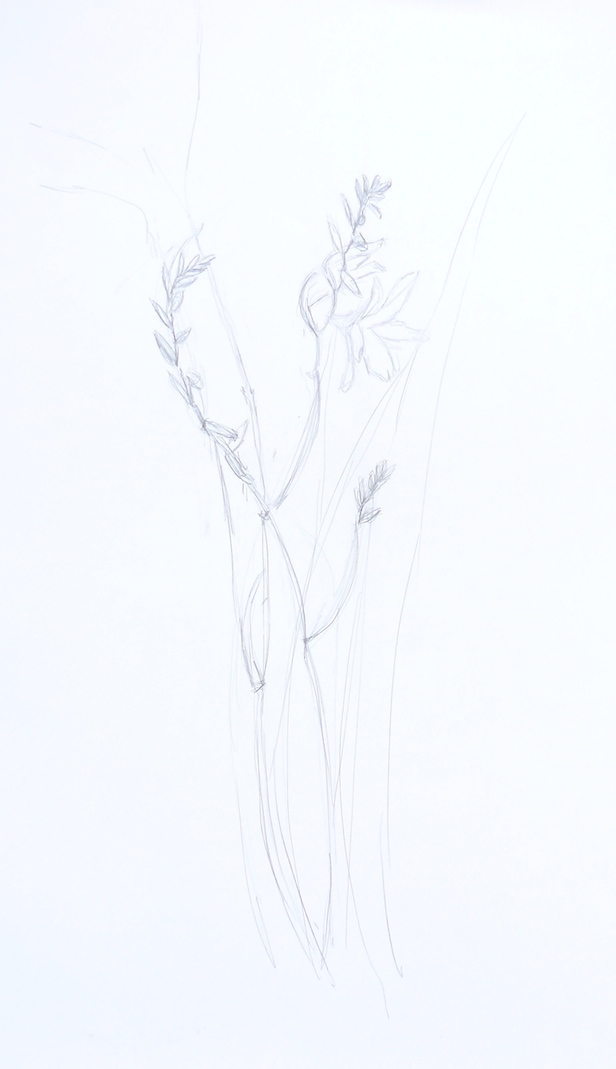 Drawing of Crocosmia