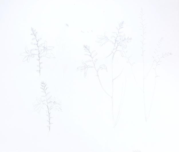 Drawing of Crocosmia