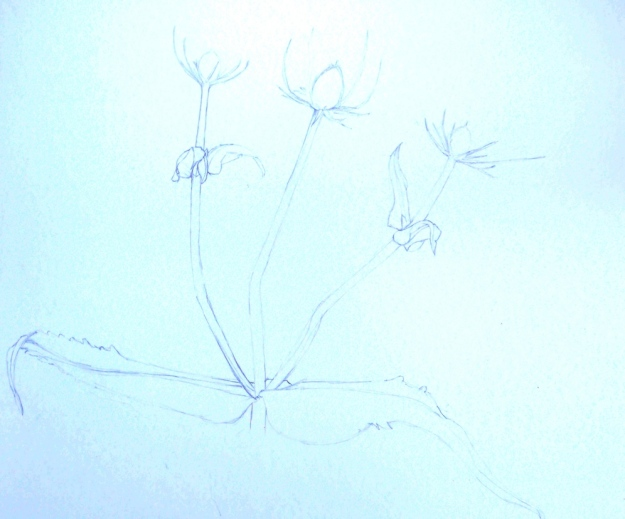 Drawing of Teasel