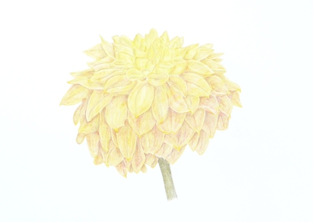 Coloured pencil drawing of Dahlia