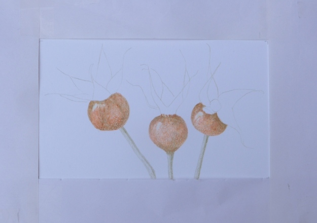 Rose hips in progress