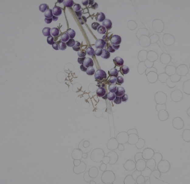 Callicarpa coloured pencil drawing