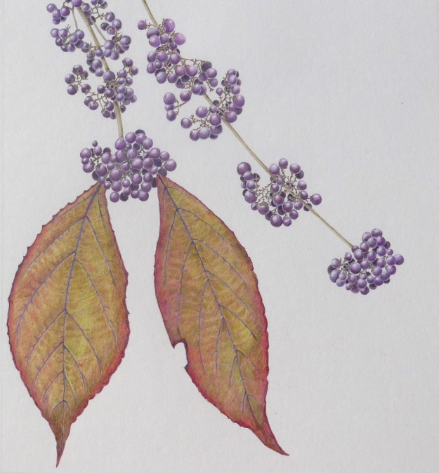 Callicarpa - drawing by Sue Hagley