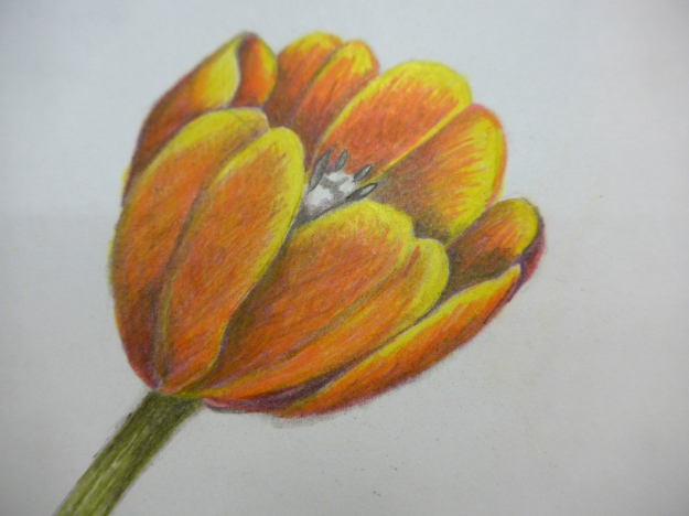 Copy of Wendy Hollender tulip drawing