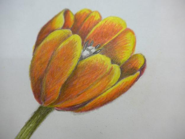 Copy of Wendy Hollender tulip drawing