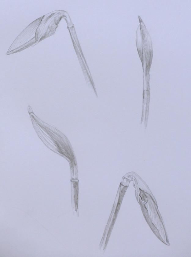 73 Daffodils