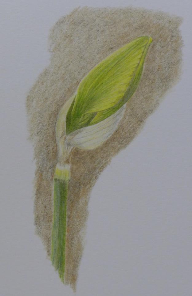 74 Daffodil bud