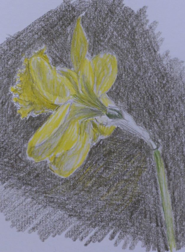 76 Yet another daffodil