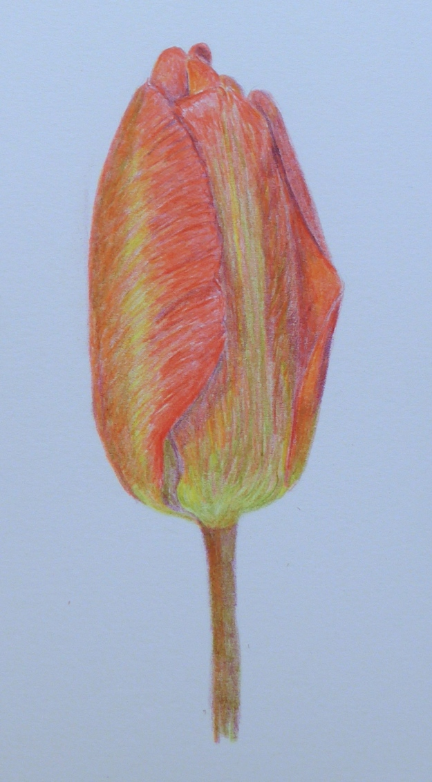 103 Tulip Bud