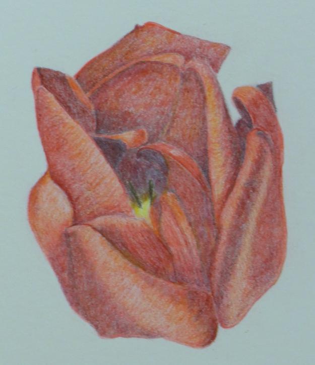 104 Tulip Opening