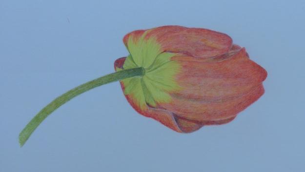 105 Tulip