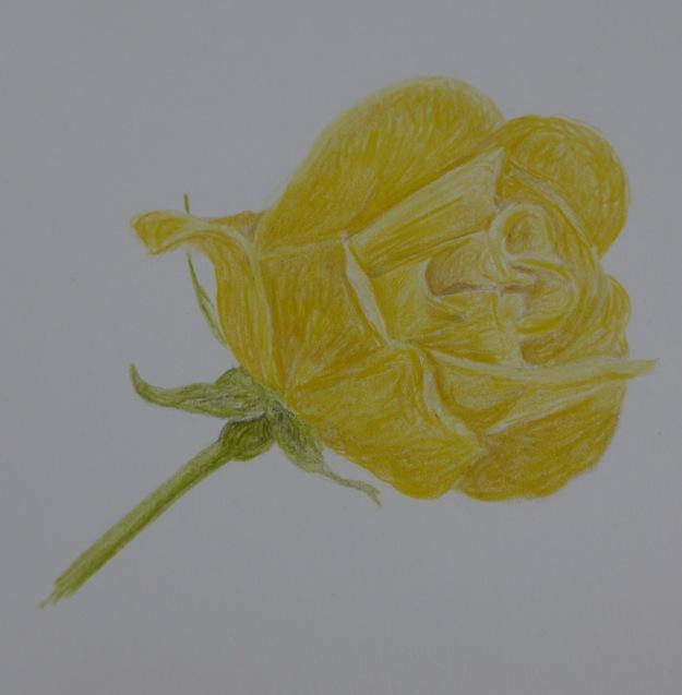 150 Rose