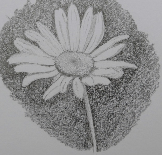 160 Ox-eye daisy