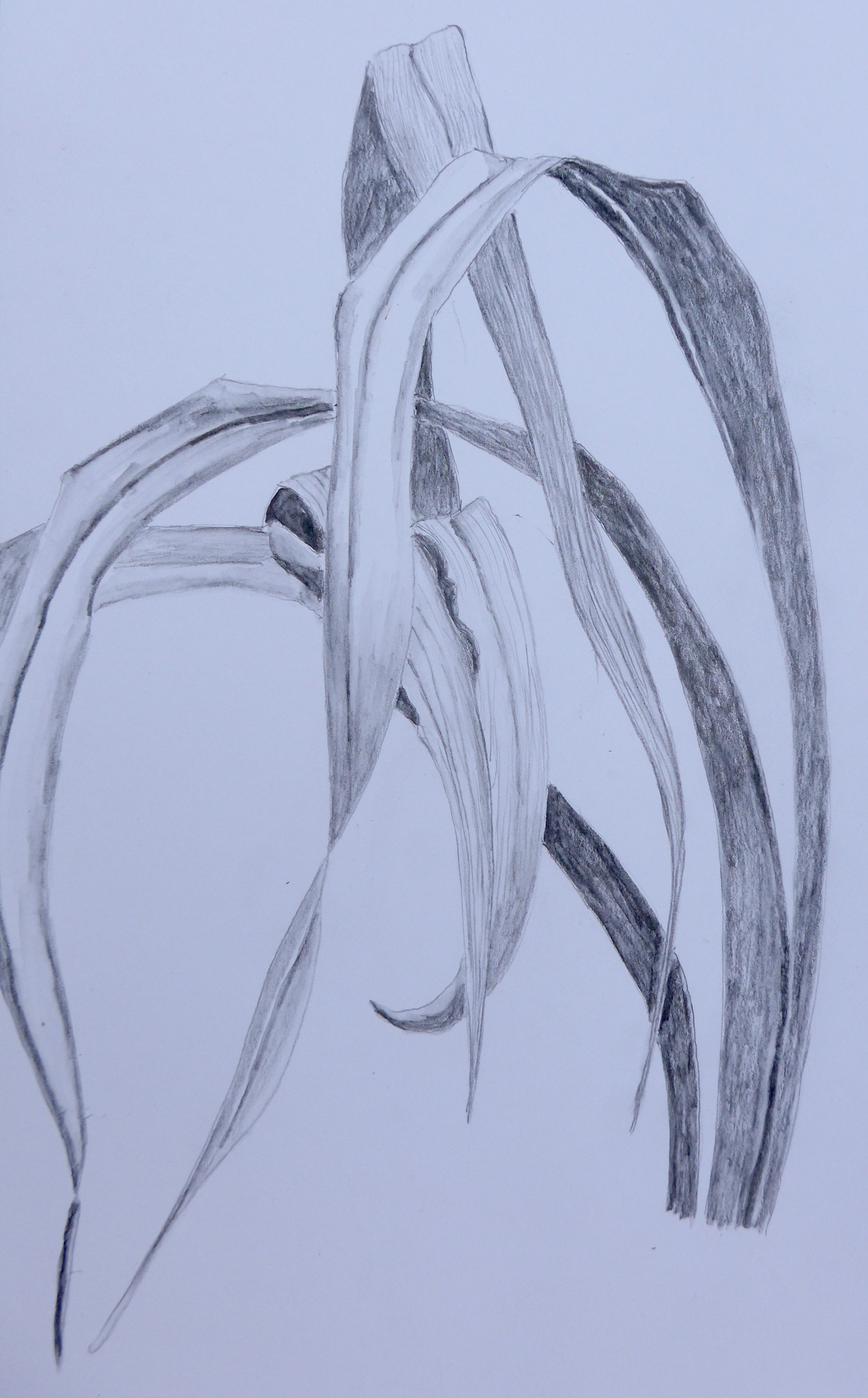 Lily Leaves Drawing 183 Day Lily Leaves
