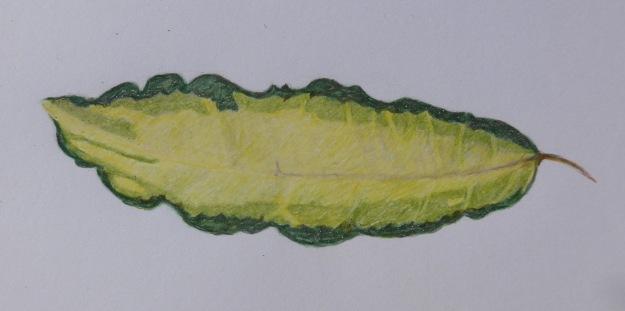233 Variegated Leaf