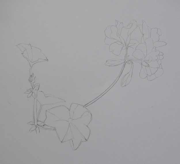 240 Pelargonium