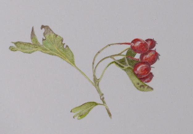 265 Hawthorn berries