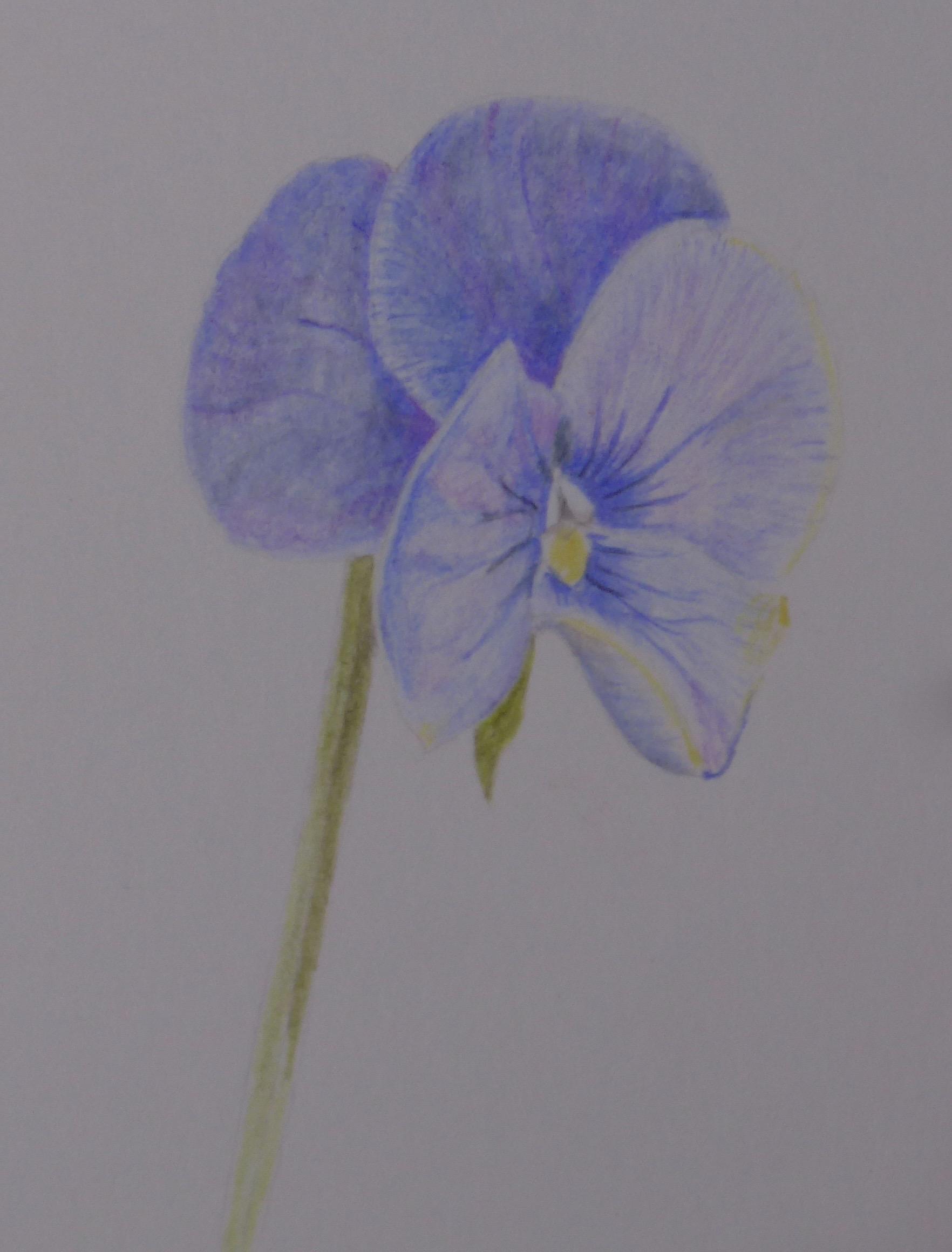 267 Purple pansy