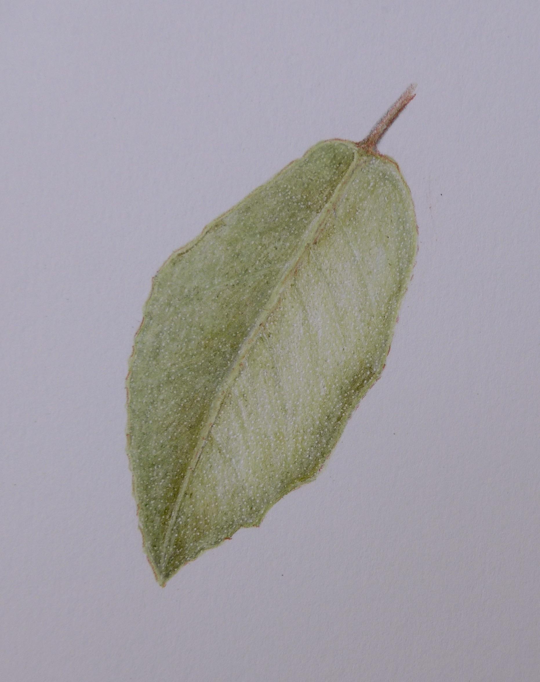 276 Evergreen leaf