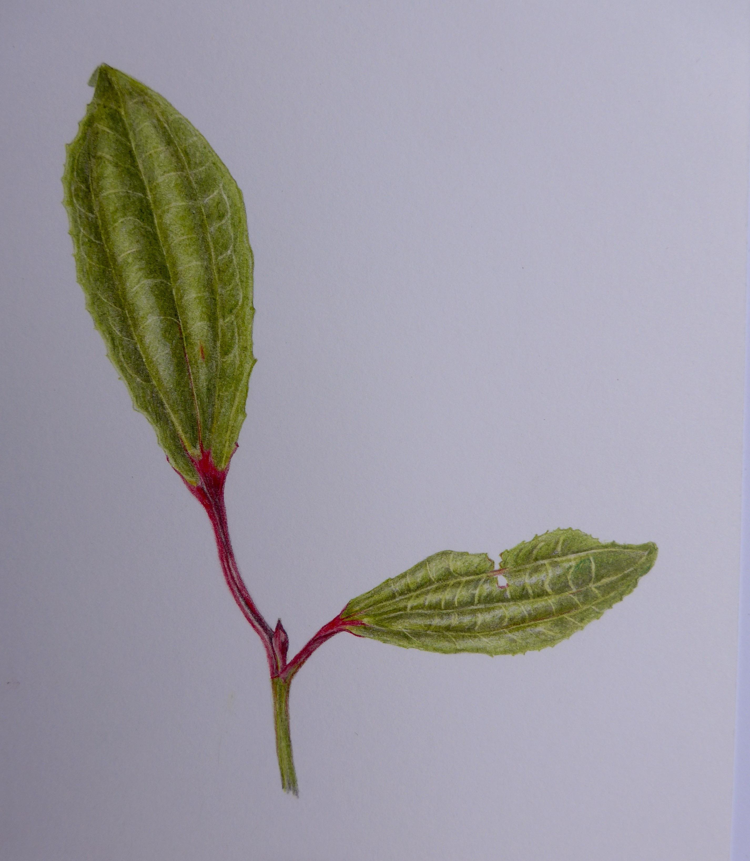 290 Unknown shrub leaf