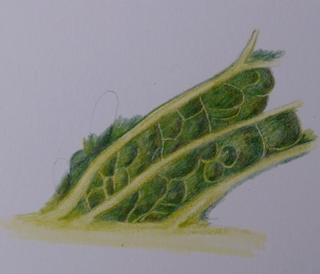 296 Cabbage