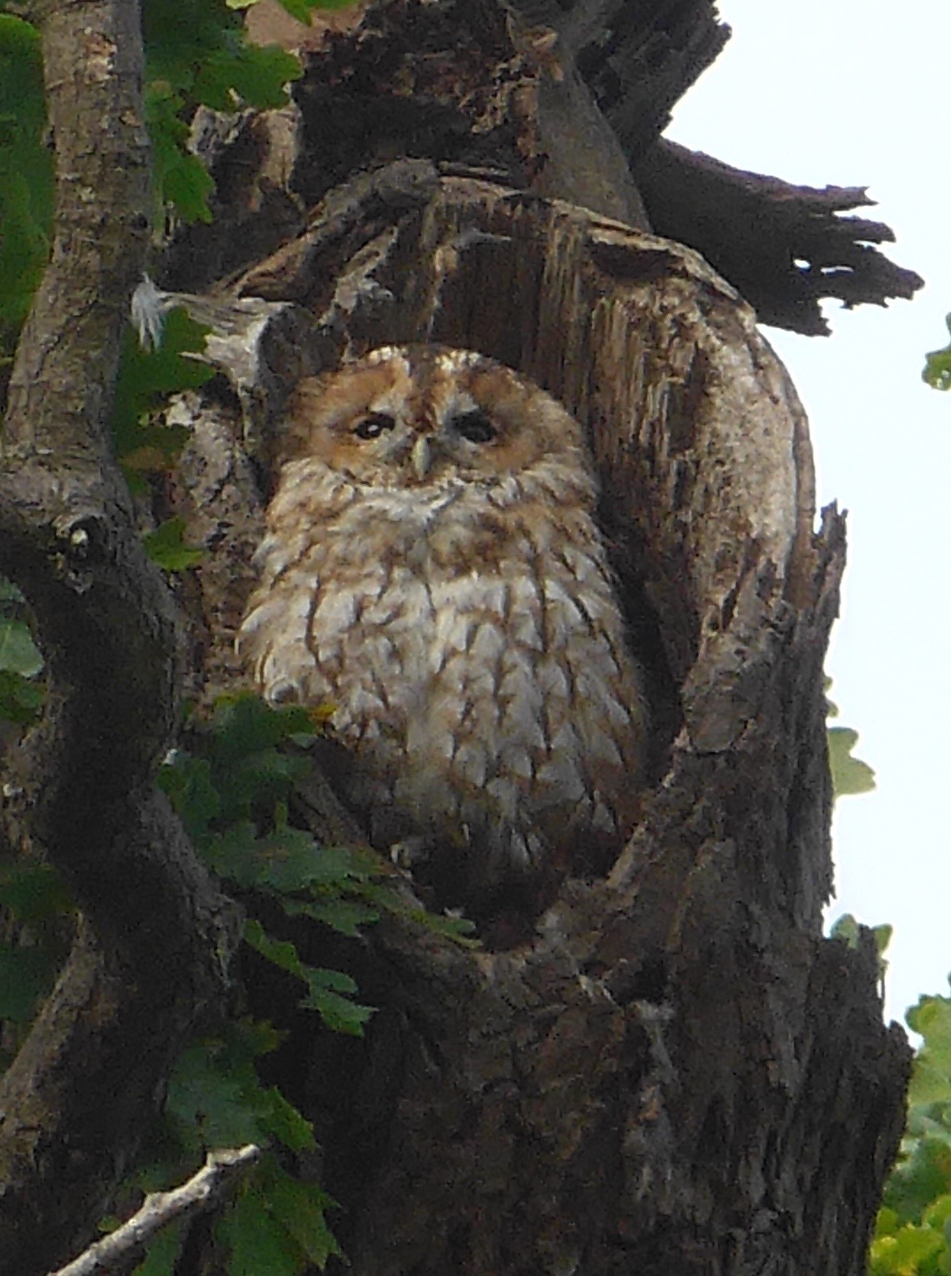 Mabel the Tawny Owl