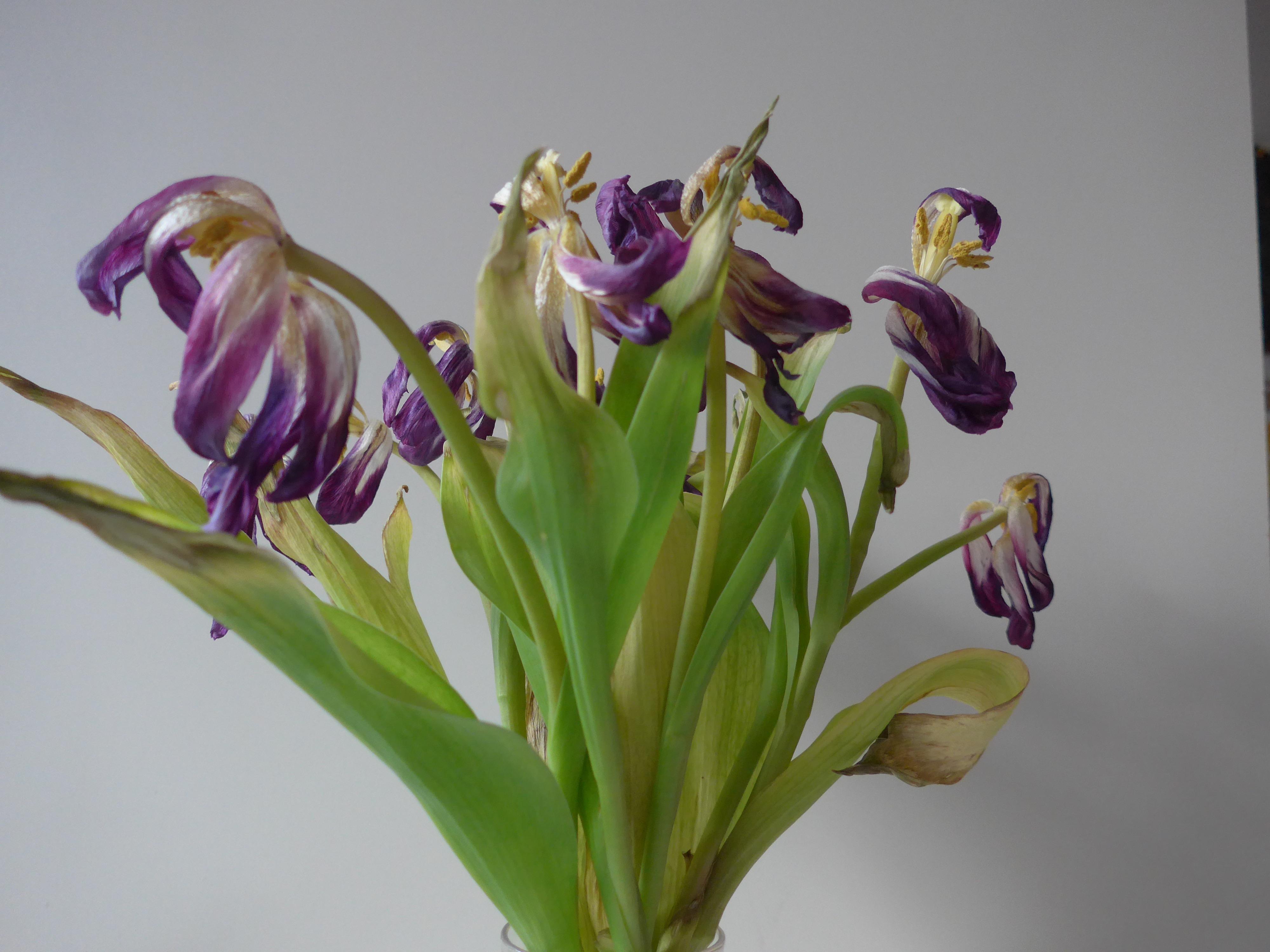Finished tulips